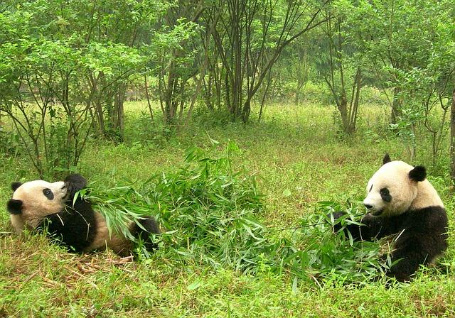 panda-1347184_640