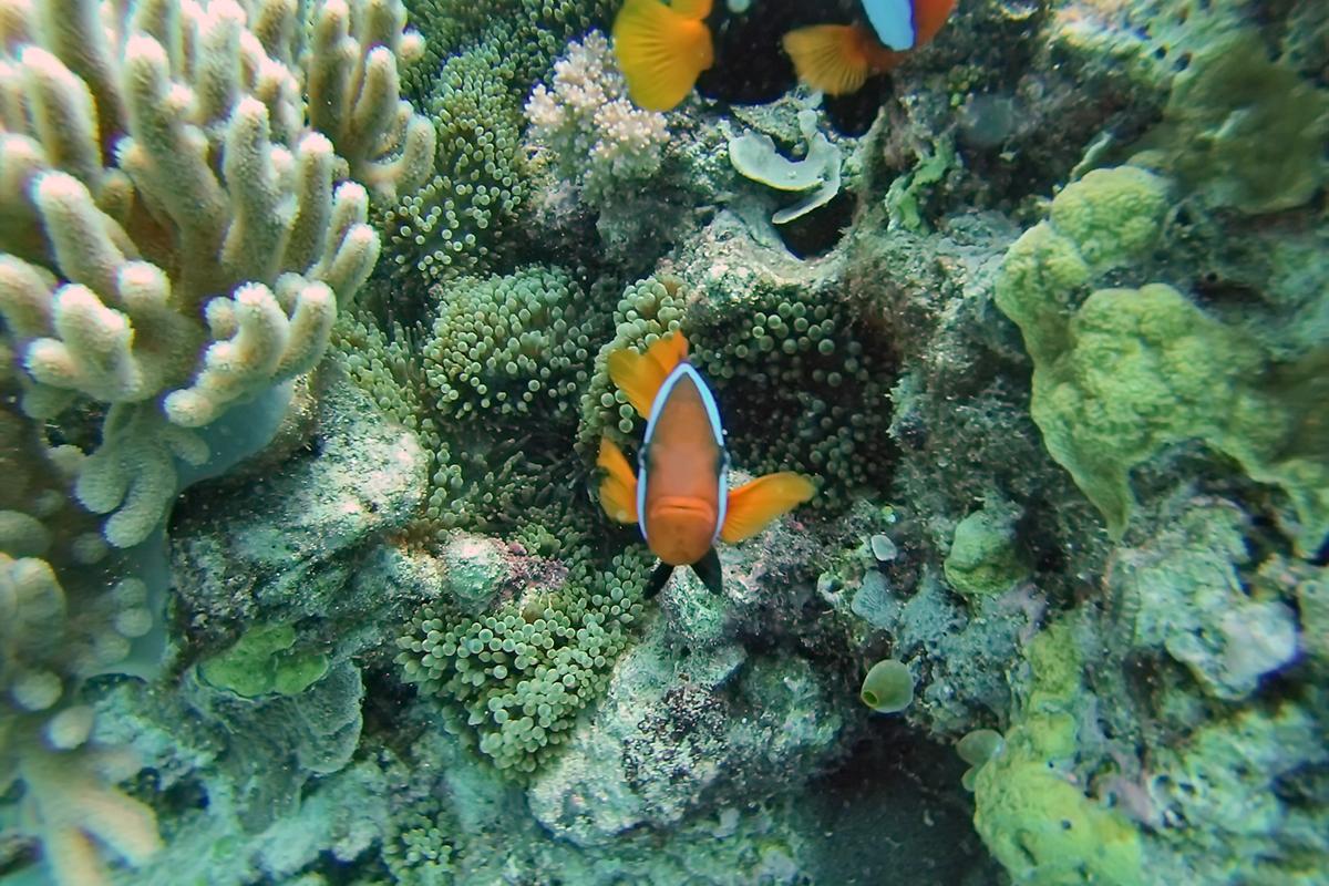 port douglas clownfish